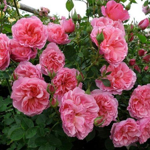 Роза Боскобель (Boscobel)
