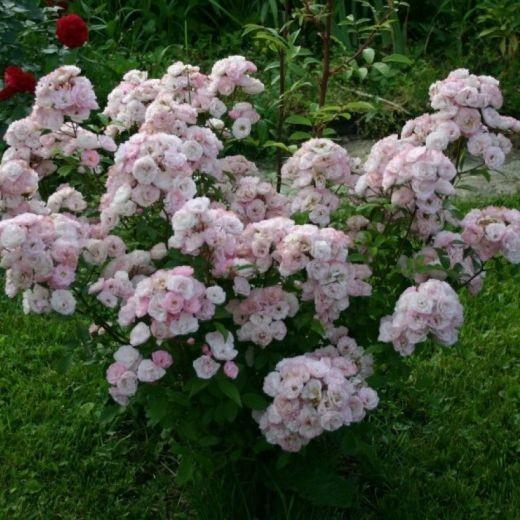 Роза Букет Парфэ (Bouquet Parfait)