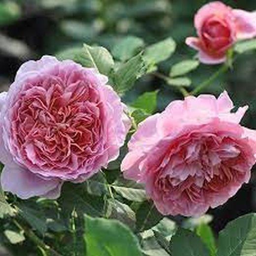 Роза Робе а ла Франциас (Robe a la francaise)