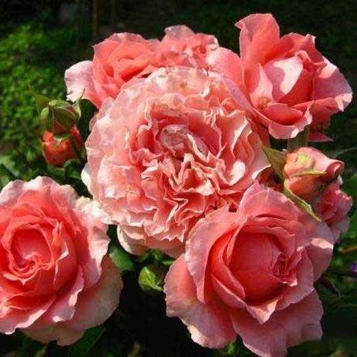 Роза Корал Желе (Corail gelee)