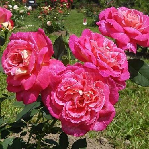 Роза Большой Театр (Bolchoi)