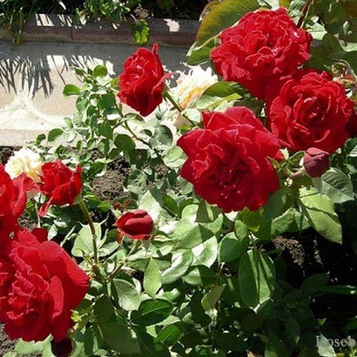 Роза Эротика (Erotika)