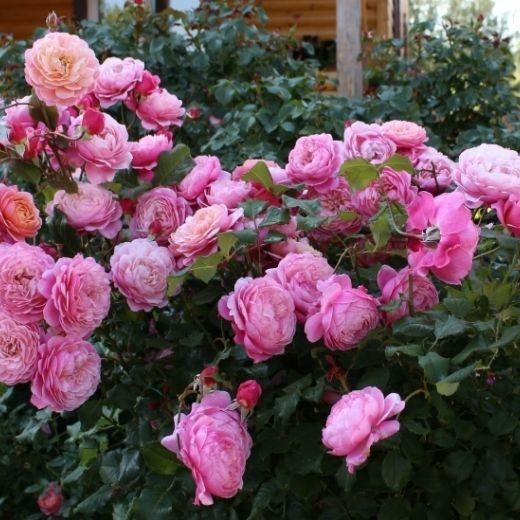 Роза Прикс П.Ж. Редут (Prix P.J. Redoute)