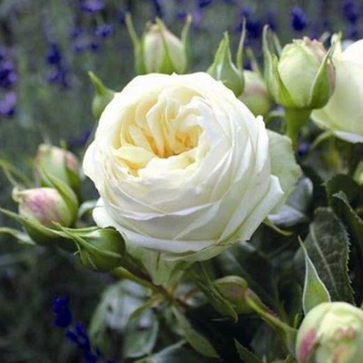 Роза Вайт Пиано (White Piano)
