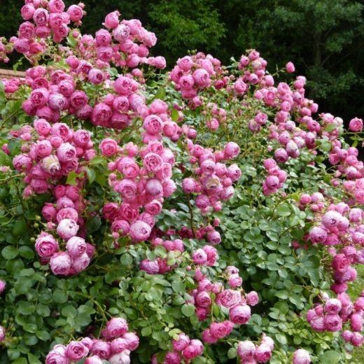 Роза Помпонелла (Pomponella)