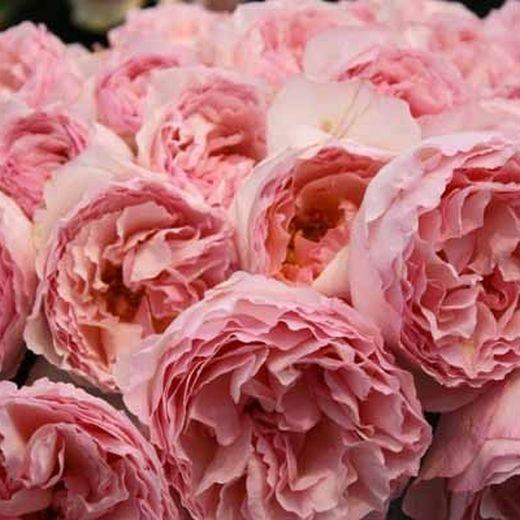 Роза Принцесс Шарлен Де Монако (Princesse Charlene De Monaco)