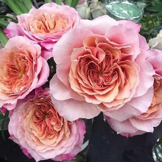 Роза Мияби (Miyabi)