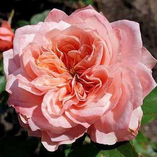 Роза Принцесса Сакура (Princess Sakura)