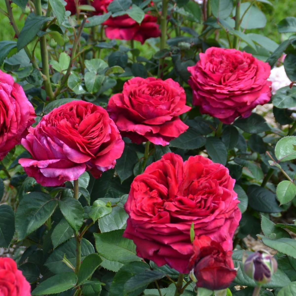 Роза четырех ветров (Rose des 4 Vents)