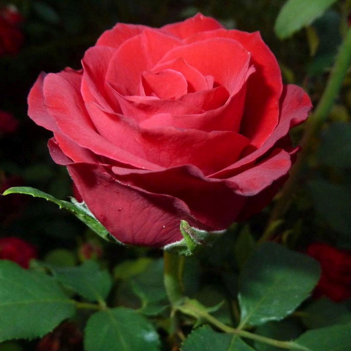 Роза Селена (Selena)