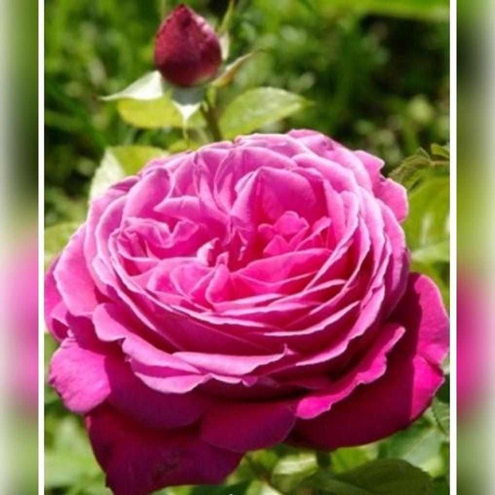 Роза Сентер Роял (Senteur Royale)
