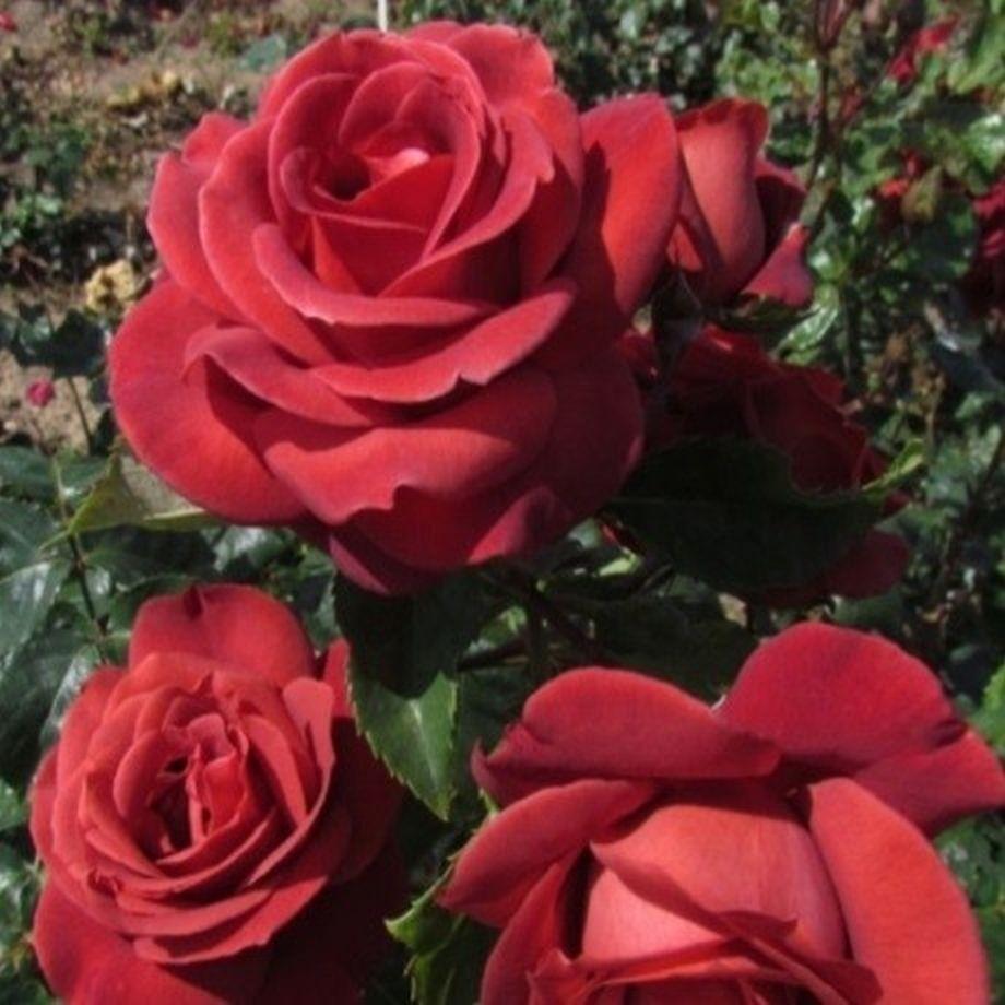 Роза Терракотта (Terracotta)