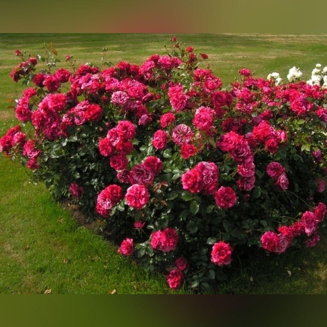 Роза Дип импрешн (Deep impression)