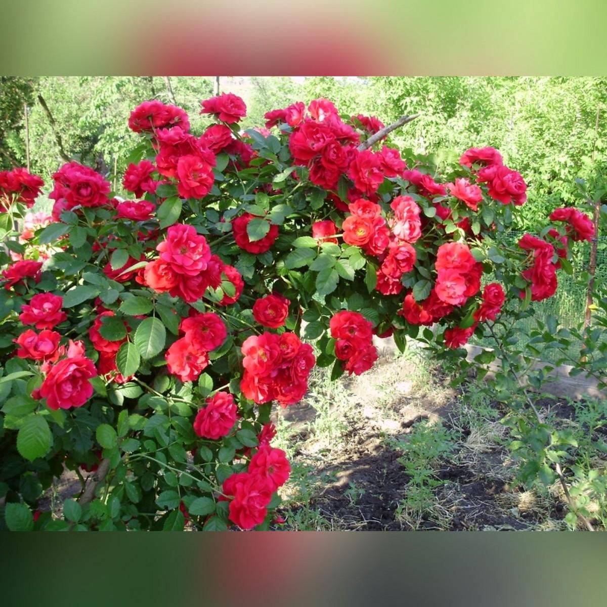 Роза Мейди (Maidy)