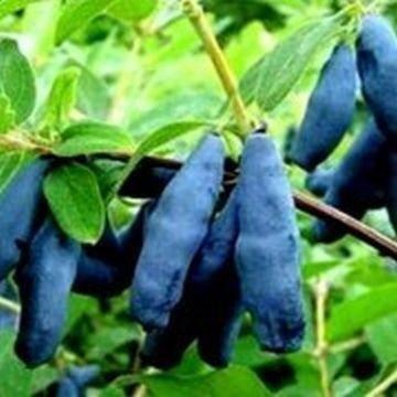 Жимолость плодовая Голубое Веретено