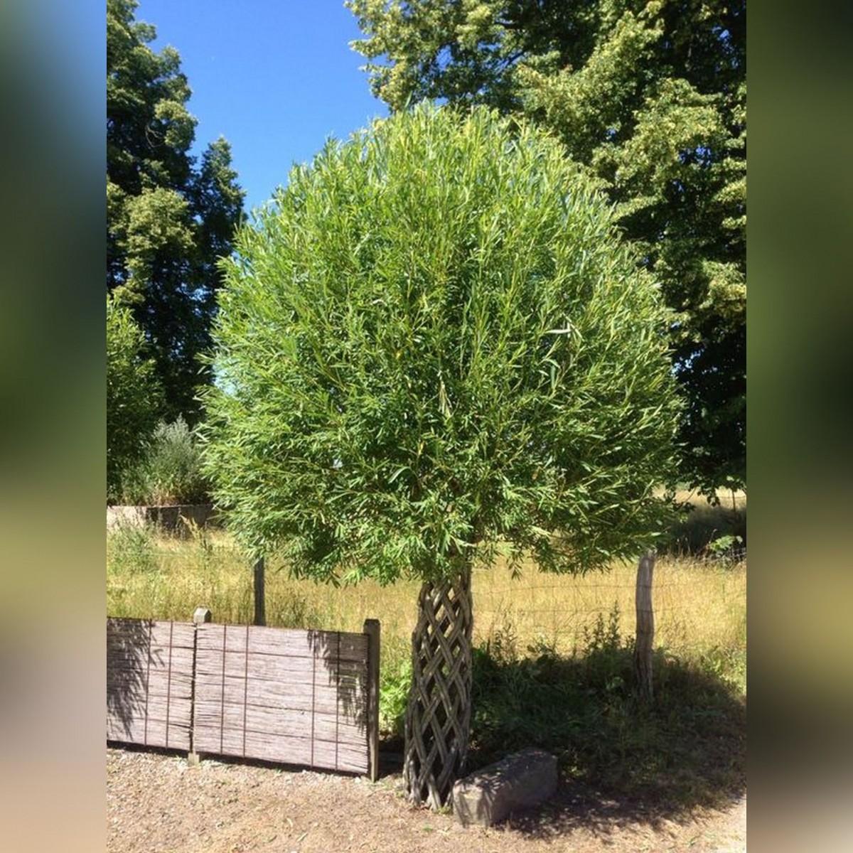 Плетеное дерево. Ива.