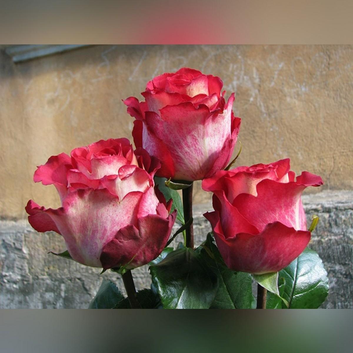 Роза Игуазу (Iguazu)
