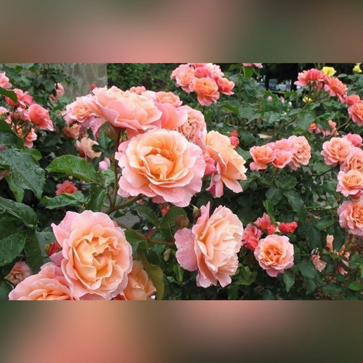 Роза МАРИ КЮРИ (Marie Curie)