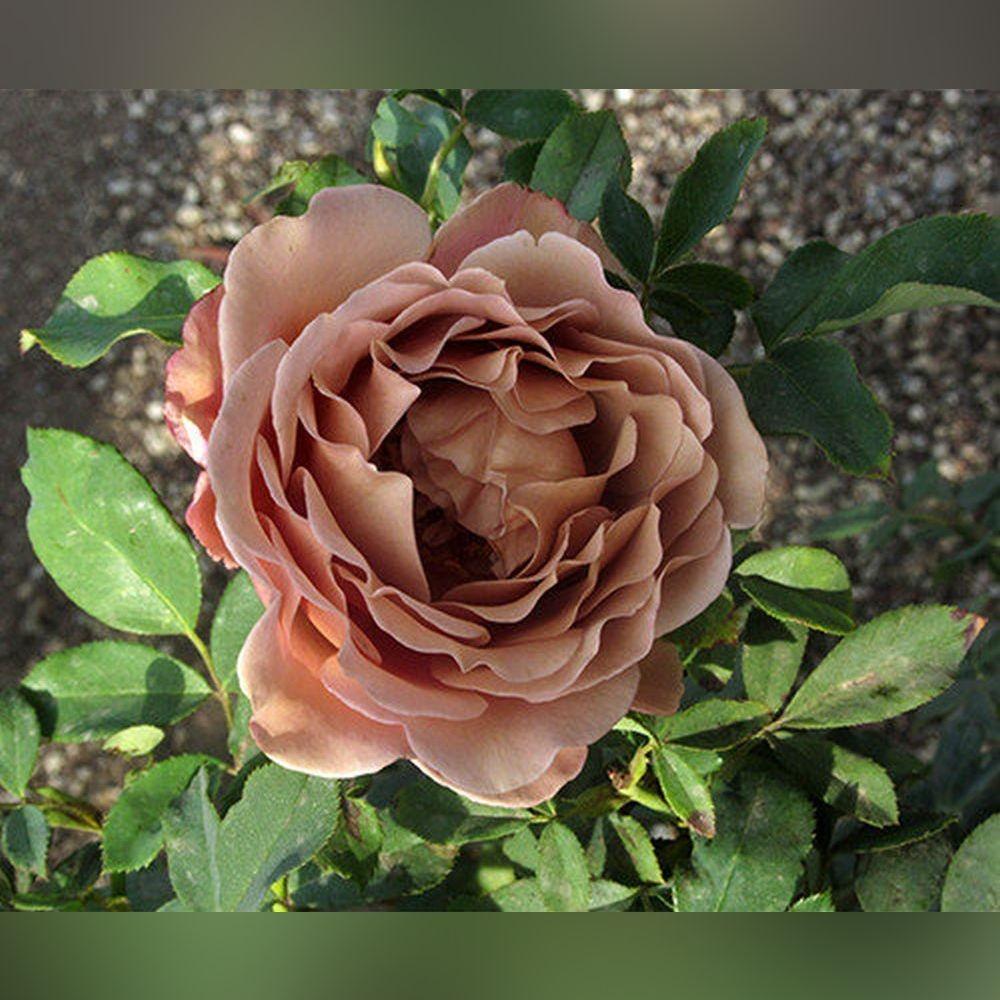 Роза Коко Локо (Koko Loko)